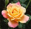 1iconflower
